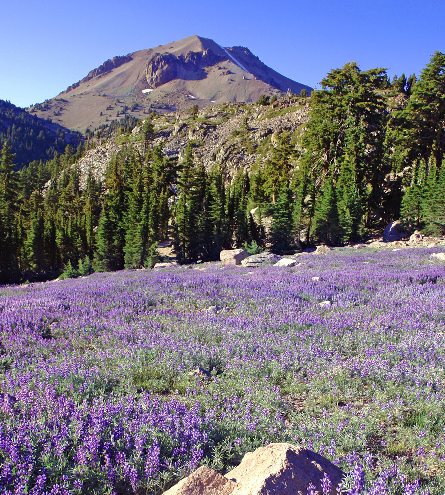 Mt. Lassen & lupine meadow